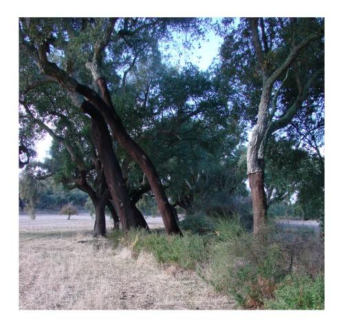 En algunos tramos del Abrilongo los amieros ó alisos (Alnus glutinosa) son sustituidos por otros árboles, en este caso alcornoques