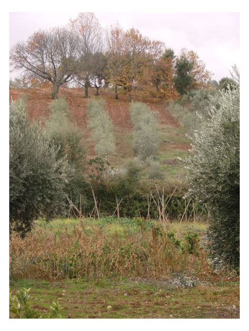 A lo largo del rio Abrilongo encontramos numerosos olivares y pequeños bosquecillos de castaños
