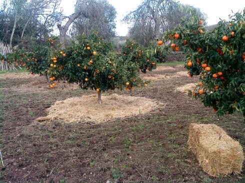 protegiendo los naranjos