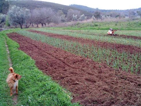 laboreo de la tierra con la mula mecánica