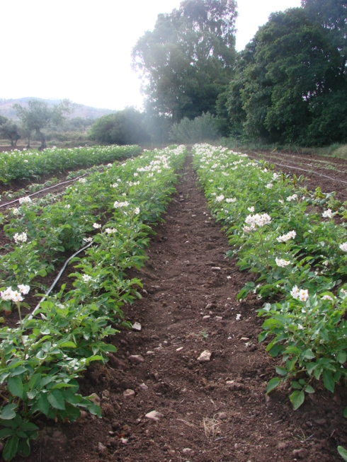 Patatas en flor