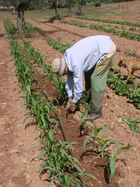 Aclarando el maíz antes de aporcarlo