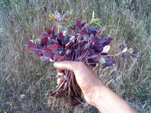 Albahaca púrpura preparada para ser trasplantada