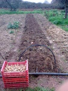 El 4 de marzo plantamos las patatas